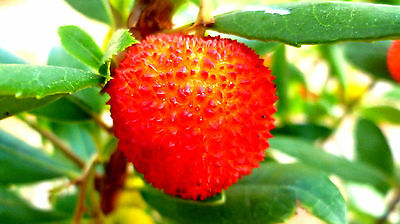 der ERDBEERBAUM liefert sommers wie winters Erdbeeren