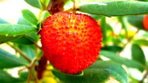 Arbutus unedo ERDBEERBAUM Erdbeeren süße Früchte,bedingt winterhart,süß Obst