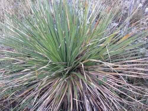 20 Seeds Very Hardy Texas Sotol Dasylirion texanum