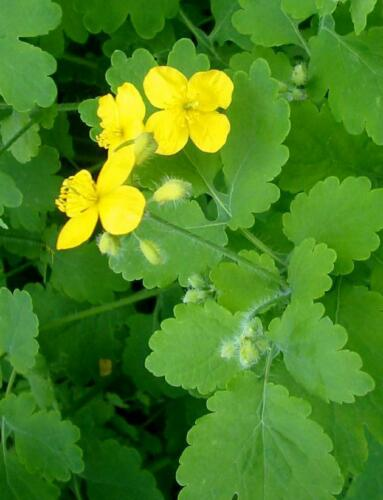 Celandine Herb seeds from Ukraine