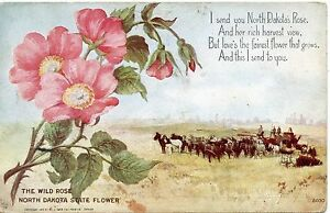 POSTCARD UNITED STATES OF AMERICA / THE WILD ROSE DAKOTA STATE FLOWER