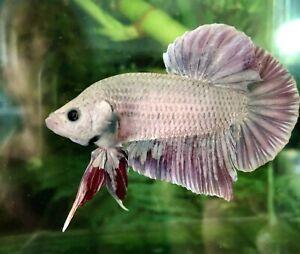Betta Fish Giant Red Dragon Copper
