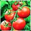 MONEYMAKER TOMATO SEEDS HEIRLOOM NON-GMO MONEY MAKER HIGH YIELD PROLIFIC 30+
