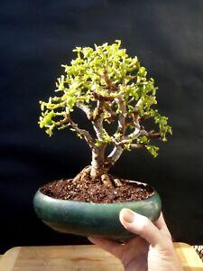 Extraordinary Bonsai Portulacaria Afra 14 Year Old Perfect Bonsai Ebay