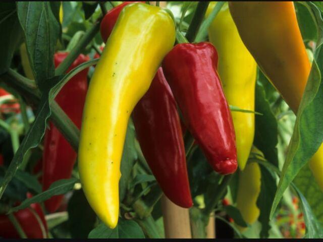 "Capsicum Seeds ""Hungarian Yellow Wax"" (25 Seeds)"