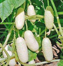 RARE LOW ACID White Wonder Cucumber! 20 SEEDS! COMBINED S/H! SEE OUR STORE!