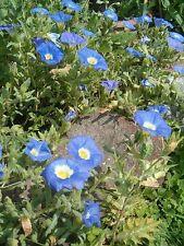25 BLUE CHILEAN BELLFLOWER Nolana Paradoxa Succulent Ground Cover Flower Seeds