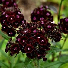 750 semillas de'Clavel de Poeta Negro / Flor Perfumadas