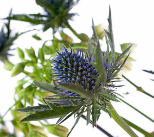 Fresh Cut Blue Eryngium Supernova Scottish Thistle Flowers Sent By