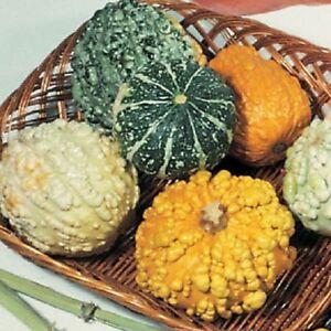 25-Gourd-Seeds-Small-Warted-Mix-GARDEN-STARTS-NURSERY