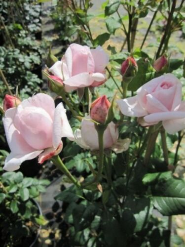 apricot-gelb Duft+++ Rose Papi Delbard® Delbar Kletterrose Papi Delbard®