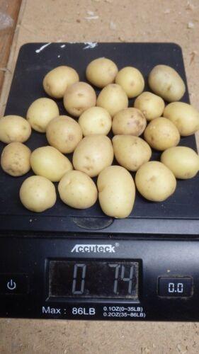 Solanum tuberosum 20 small ORGANIC White Skin White Flesh SEED Potato tubers