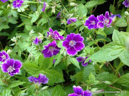 30 Seeds 30 Zaden 30 Graines Clos du Coudray /& Others HARDY GERANIUM NODOSUM