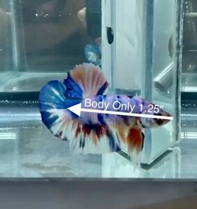 Live Giant Betta - GIANT CANDY (MULTICOLOR) - USA Seller - Body Only 1.25""