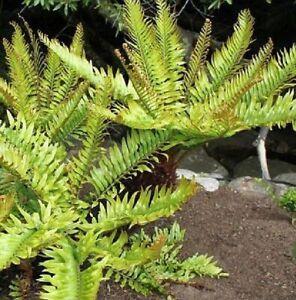 50x-Blechnum-Tabulare-Mountain-Blechnum-Underground-Rhizome-Seeds-Garden-B799