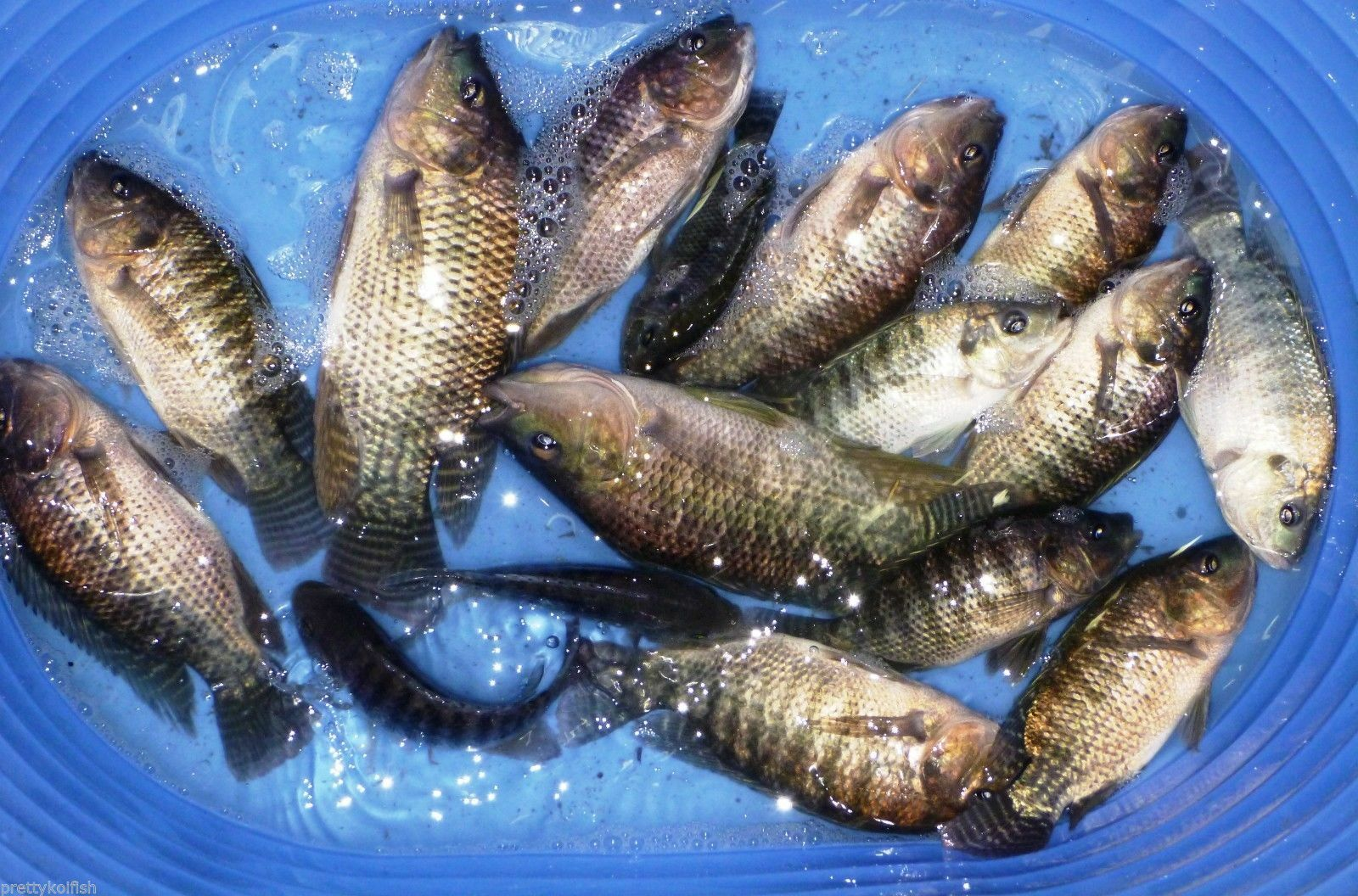 9 Lot Broodstock Blue Live Tilapia Fish 6 Female 3 Male Aquaponic Algae Control