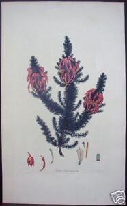 Henry-Andrews-034-Erica-Sebana-Aurantia-034-1800-Engraving