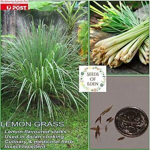LEMON-GRASS-SEEDS-Cymbopogon-flexuosus-Garden-herb-Asian-cooking