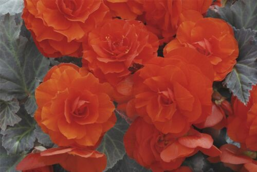 Flower Nonstop Mocca Deep Orange F1-50 Pelleted Seeds Begonia Large