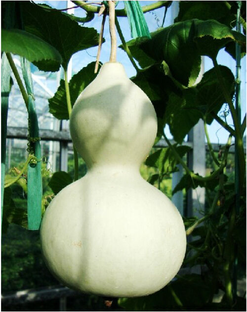 Bottle Gourd Seeds 5 Seeds Big Wine Gourd Spoon Lagenaria Siceraria Seeds B007