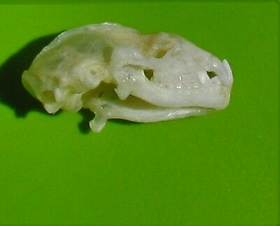 Diadem Roundleaf or Leaf-nosed Bat Hipposideros diadema Skull FAST SHIP FROM USA