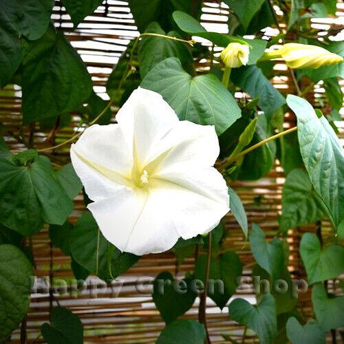 MOONFLOWER - 10 SEEDS - Ipomoea noctiflora alba - Strong night fragrant VINE