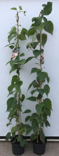 Géant Kiwi Actinidia Chinensis /'Hayward/' Jusqu/'à 200cm Pot Cultivé 7,5L Pot