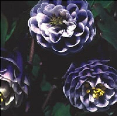 Flower - Aquilegia - William Guiness Doubles (Magpie) - 50 Seeds