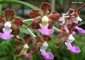 Rare-orchid-species-seedling-plant-Vanda-insignis