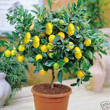 10pcs Rare Largest Fruit Lemon Seeds Heirloom Garden Tree Outdoor Fruit Indoor