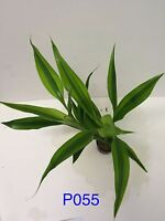 Dracaena Variegatus - Potted Plant P055