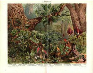 Lithographie-Araceen-Original-1907-no-copy-Bild-Druck-Lithograph-Dschungel