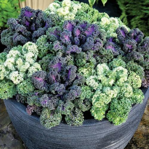 "Flowering Kale Seeds Yokohama Mix 50 Seeds /""New 2018/"""