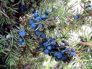 Juniper-communis-Juniperus-communis-frutti-di-bosco-utilizzati-per-effettuare-il-Gin-15-Semi