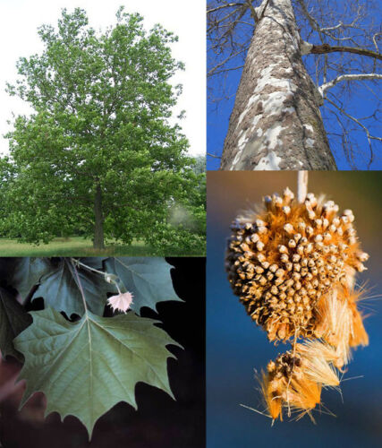 seeds trees 100 seeds American Sycamore