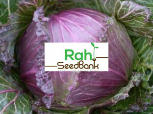 Cabbage Purple Savoy Grow Your Own As It S Easy Satisfying 50 Seeds Ebay