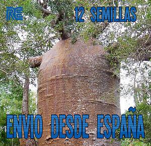 EL-ARBOL-MAS-ANCHO-DEL-MUNDO-BAOBAB-BONSAI-12-semillas-seeds-A06