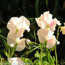 Flower - ROYAL SWEET PEA WHITE - SWAN LAKE - 25 SEEDS - Lathyrus Odoratus