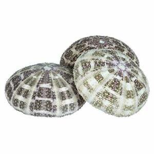 Sea-Urchin-3-Alphonse-Urchin-Shells-3-034-4-034-Craft-amp-Decor