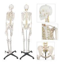 New 6ft Life Size Human Anatomical Anatomy Skeleton Medical Model Stand 70
