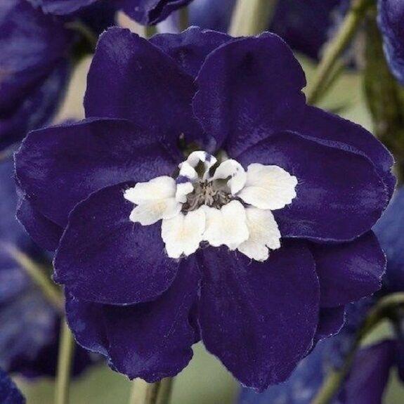 stabile Kiepenkerl-arbusti ritteporn 4071 Magic Fountains BLUE