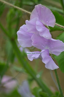 FLOWER SWEET PEA MEMORIES 30 FINEST SEEDS GRANDIFLORA