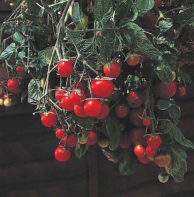 Tomato Garden Pearl  - Gartenperle 'Basket type' - 2000 seeds - Bulk Vegetables