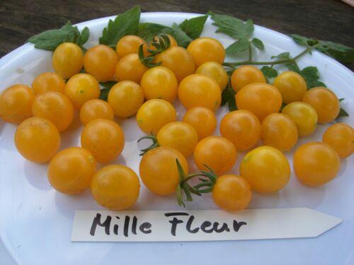 Mille Fleur  Tomate 5 Stk. Tomatensamen Gelbe Cherrytomate Massenträger