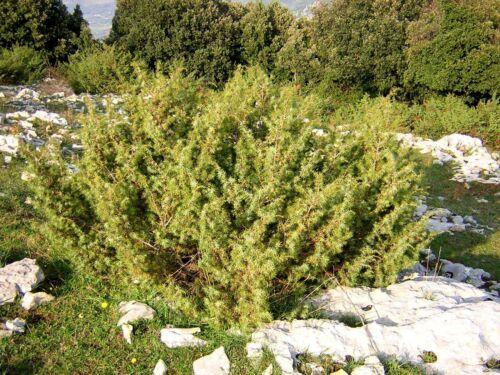 Zeder Glatte Common Juniper Juniperus Communis 30 Samen Seeds Wacholder