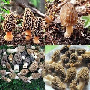 Morel/Morchella Mushroom