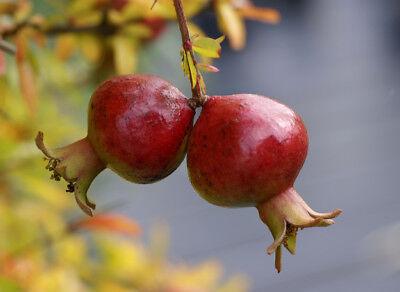 """1 PLANT Pyracantha nana cv /""""navajo/"""" ! piracanta nana TREE GARDEN"""