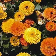 Calendula Pot Marigold- Mix colors- 100 Seeds - 50 % off sale