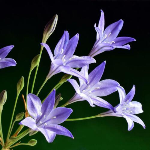 140 Brodiaea Triteleia Queen Fabiola Perennial Spring Summer Plant Flower Bulbs