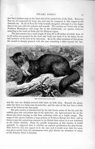 Old-Antique-Print-Natural-History-1894-Pine-Martin-Weasel-Family-Animal-19th